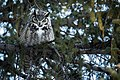 Bubo virginianus -Yellowstone National Park, USA-8.jpg