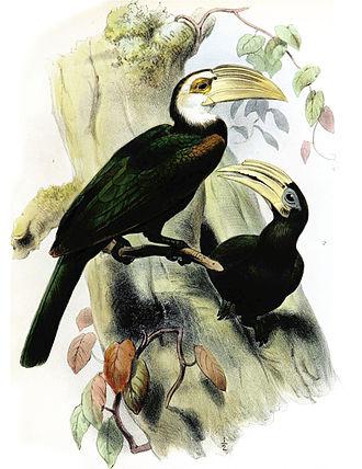 Sulawesi hornbill - Male (left) and female