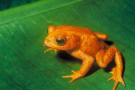 The golden toad was last seen on May 15, 1989. Decline in amphibian populations is ongoing worldwide Bufo periglenes2.jpg