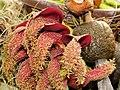 Bulbophyllum phalaenopsis-IMG 2147.jpg
