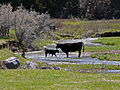 Bull calf and cow in Spring Creek.jpg