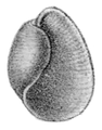 Bullacta exarata shell.png