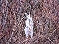 Bunny - panoramio.jpg