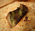 Burnished Brass. Diachrysia chrysitis f. aurea (42431478950).jpg
