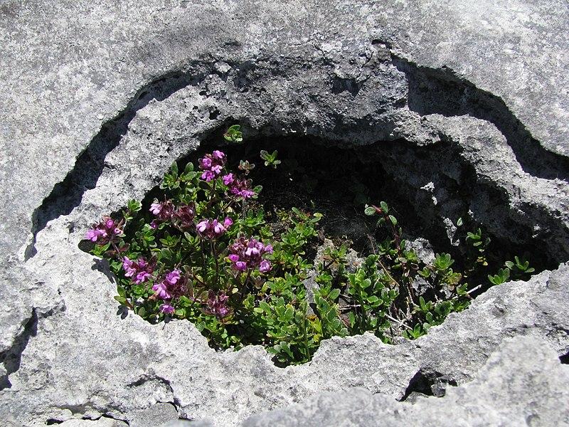 File:Burren eye 2008-07-03 14-05.jpg