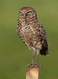 Burrowing Owl 4354.jpg