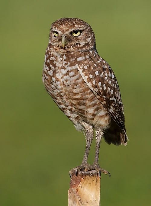 500px burrowing owl 4354