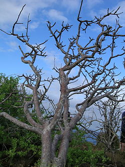 Bursera graveolens without leaves.jpg
