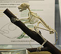 Bush baby Galago skeleton at the Royal Veterinary College anatomy museum.JPG
