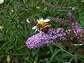 Butterfly5(gdil13).JPG