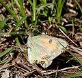 Butterfly Im IMG 6944.jpg