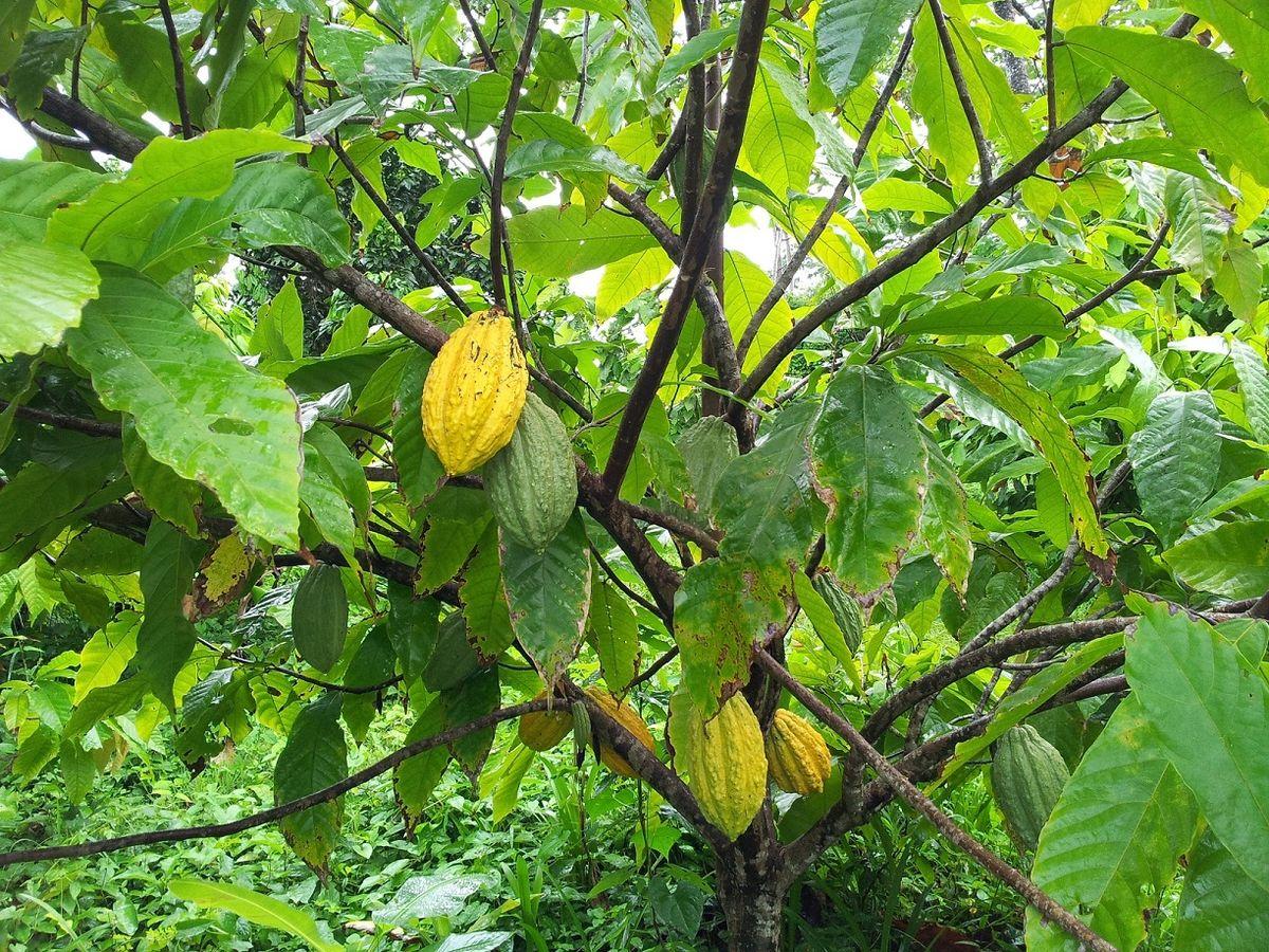 guiana (cacao) — wikipédia