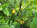 Cacaoyer variété Guiana.jpg