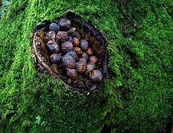 Plusieurs espèces d'écureuils enterrent leurs provisions ou les cachent dans les arbres. Ils jouent ainsi un rôle important de dissémination des graines et gènes et d'enrichissement des forêts en plantes épiphytes.
