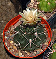 Cactaceae - Gymnocalycium fischeri.JPG