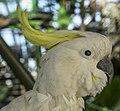 Cairns White Cockatoo-1 (15813141358).jpg