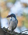 California Scrub-Jay with acorn (26759466149).jpg