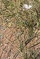 Calochortus striatus 11.jpg