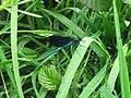 Calopteryx vierge - Mâle.jpg