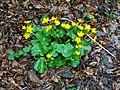 Caltha palustris 126292151.jpg
