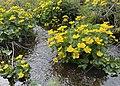 Caltha palustris Marsh-marigold kingcup (bekkeblom soleihov) wetland brook (våtmark bekk) Pirane, Hvasser, Oslofjorden, Norway 2021-05-13 IMG 9475.jpg