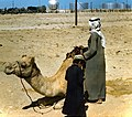 Camel on view at Dhahran Air Base.jpg