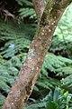 Camellia sasanqua 'Lucinda' in Auckland Botanic Gardens 02.jpg