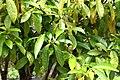 Camellia tsaii in Auckland Botanic Gardens 02.jpg