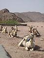 Camels (2429215910).jpg