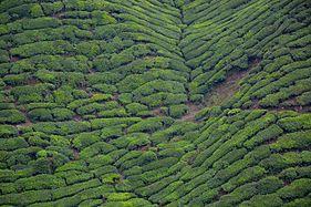 Cameron highlands tea 3.jpg
