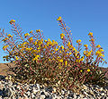 Camissonia brevipes 8.jpg