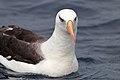 Campbell Albatross (25977634146).jpg