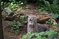 Canada Lynx (28825646218).jpg
