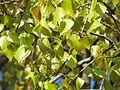 Canadian poplar yellow leaf variety 01.jpg