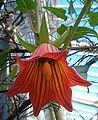 Canarina canariensis BotGardBln1105c.jpg