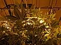 Cannabis plant with grow lights.jpg