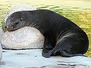 Cape fur seal in Rostock.jpg