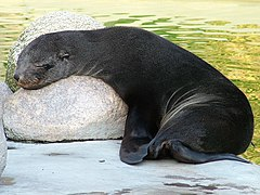 Cape fur seal in Rostock.jpg