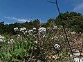 Caps blancs (Alyssum maritimum) al passeig de les Aigües al costat del turó de Valldaura P1240348.JPG