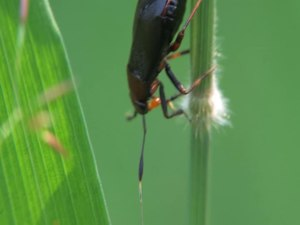 File:Capsus ater oviposition - 2012-07-26.webm