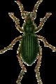 Carabus auronitens Jacobson.png