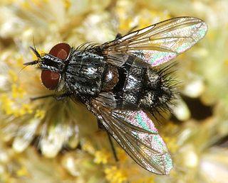 Eryciini Tribe of flies