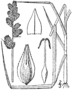 Carex tribuloides drawing 1.png