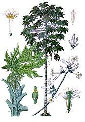 Carica papaya l whole plant flowers