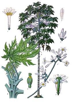 Carica papaya köhler s medizinal pflanzen 028