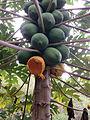 Carica papaya eaten by fruitbat Beqa Fiji.jpg
