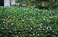 Carissa macrocarpa Natal Plum კარისა (2).JPG