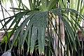 Carludovica palmata 7zz.jpg