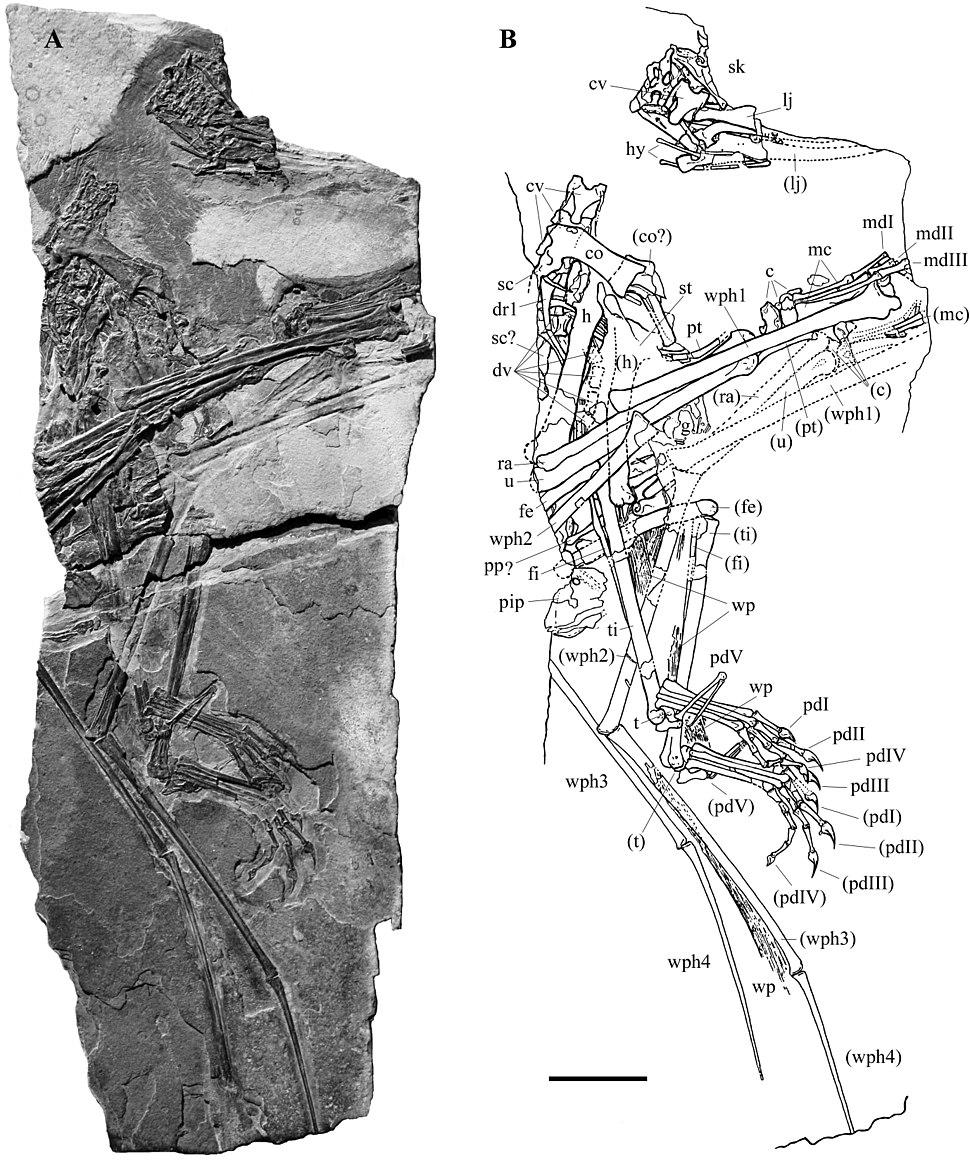 Carniadactylus rosenfeldi