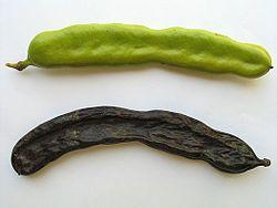 Nedozreli i zreli plod rogača